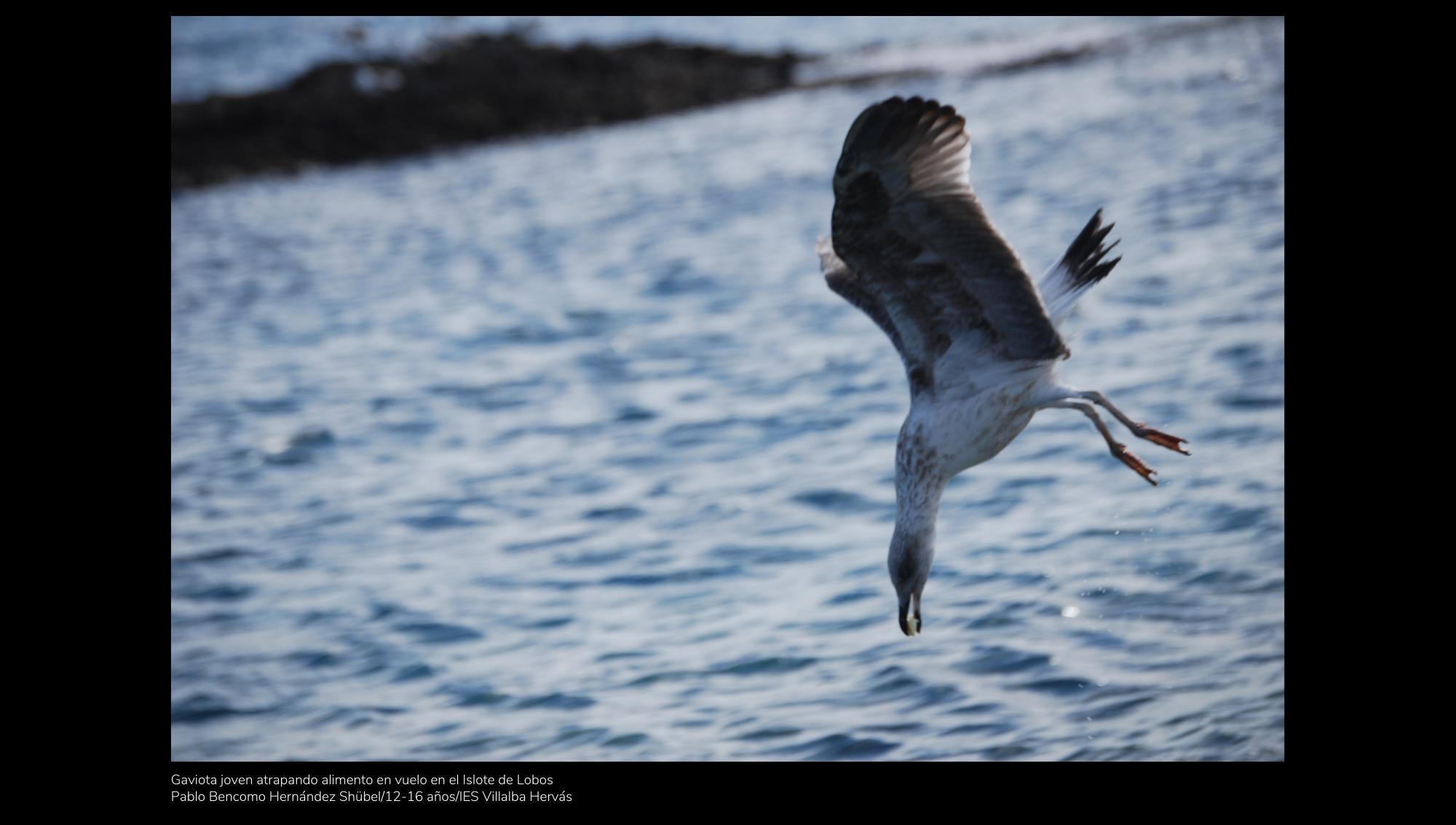 Gaviota joven atrapando alimento en vuelo en el Islote de Lobos